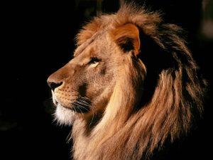 Lion-Thinking-2